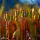 Korpikarhunsammal - Common Haircap - Polytrichum commune