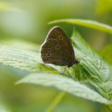 Tesmaperhonen - Ringlet - Aphantopus hyperantus