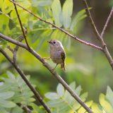 Hippiäinen - Goldfinch - Regulus regulus