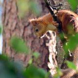 Orava - Red Squirrel - Sciurus vulgaris