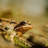 Sammakko - Common Frog - Rana temporaria